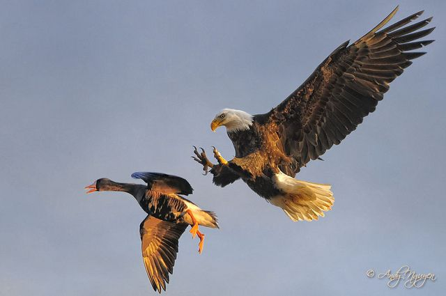 Greater White Fronted Goose chased down by a Bald Eagle