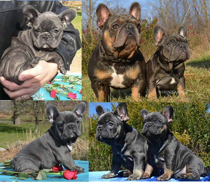 Shrink A Bulls Miniature French Bulldogs Puppies French Bulldog