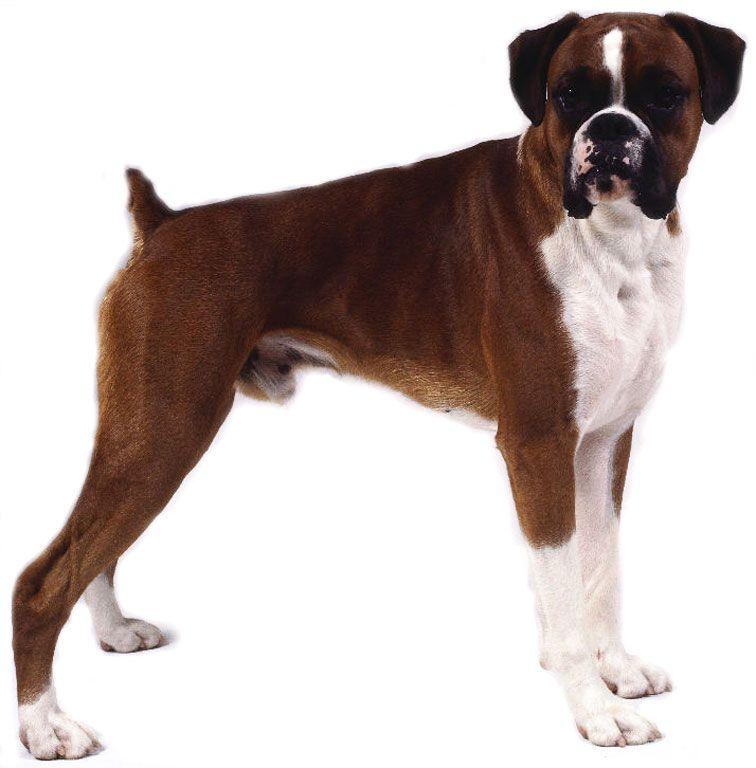 Boxer Rescue Ontario Boxer Dog Rescue Deckss Com Boxer Dogs