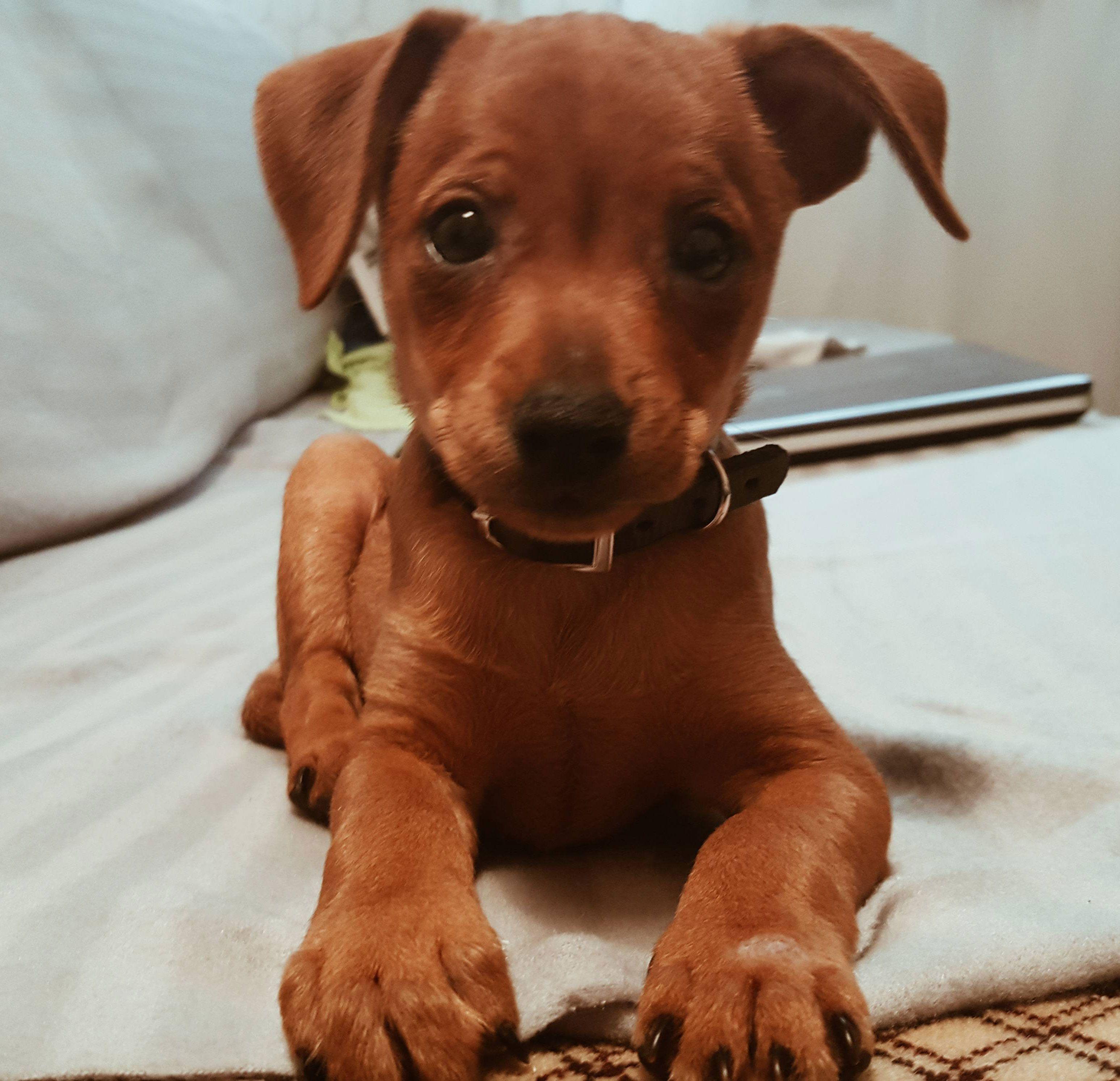 Meet Onyx, Adorable cute Rhodesian Ridgeback puppy