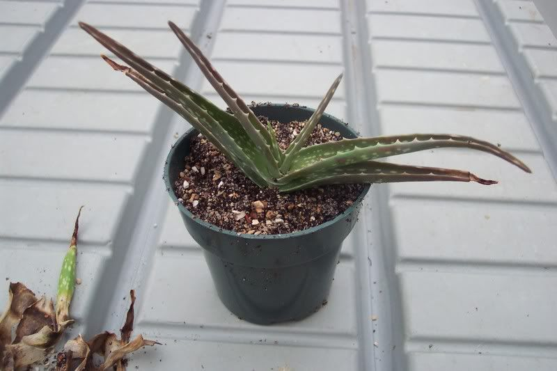 aloe vera re potting use mix of soil sand fine. Black Bedroom Furniture Sets. Home Design Ideas