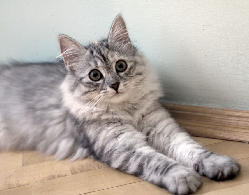 Siberian Cat Ever Want A Hypoallergenic Cat Well Here Ya Go