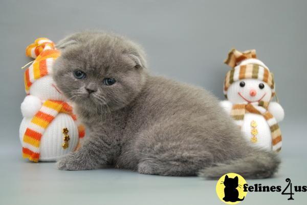Adorable Little Kitty 490 In Houston Tx Scottish Fold