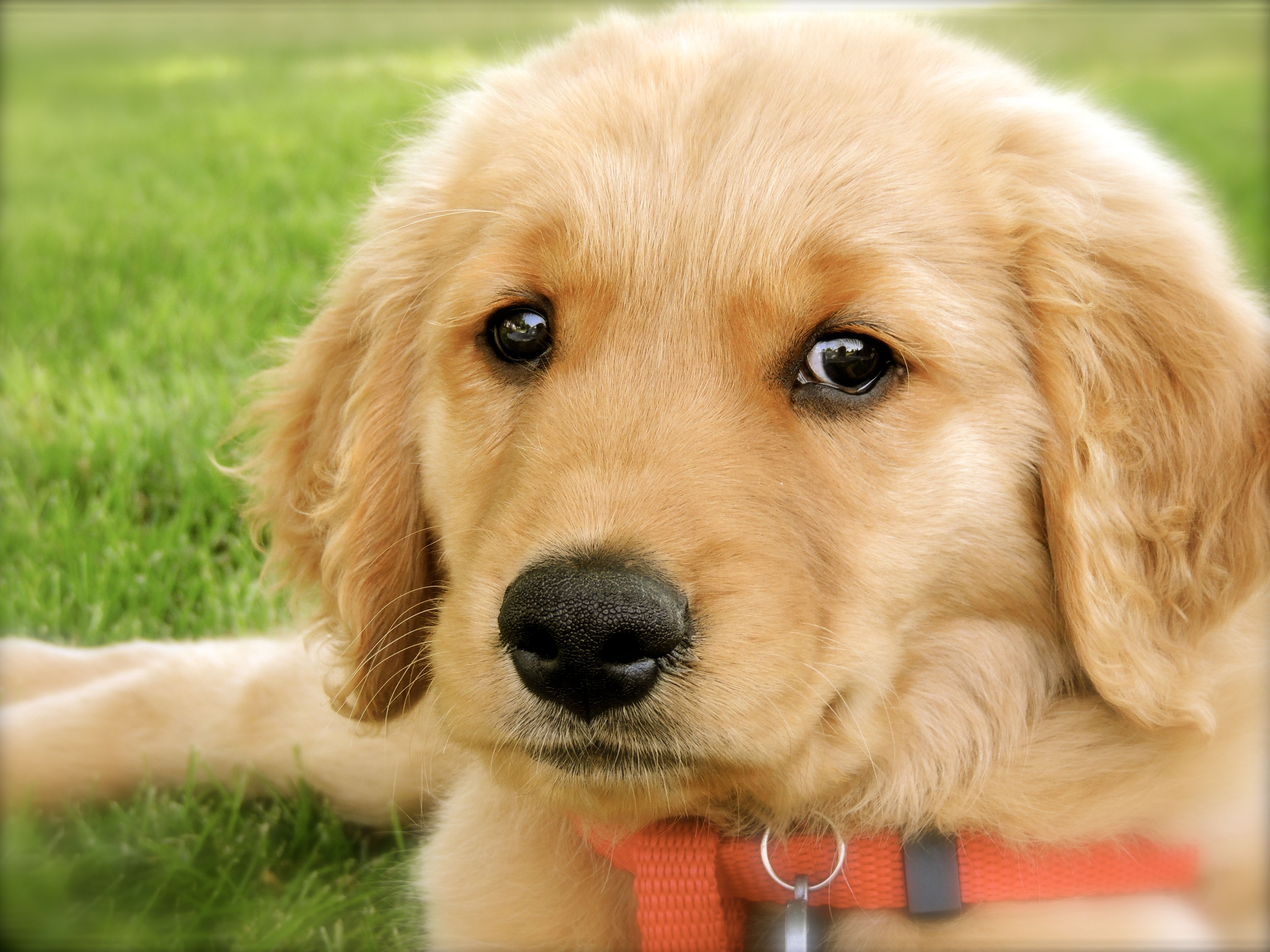 2 Month Old Golden Retriever Puppy And Nothing But Cute Golden