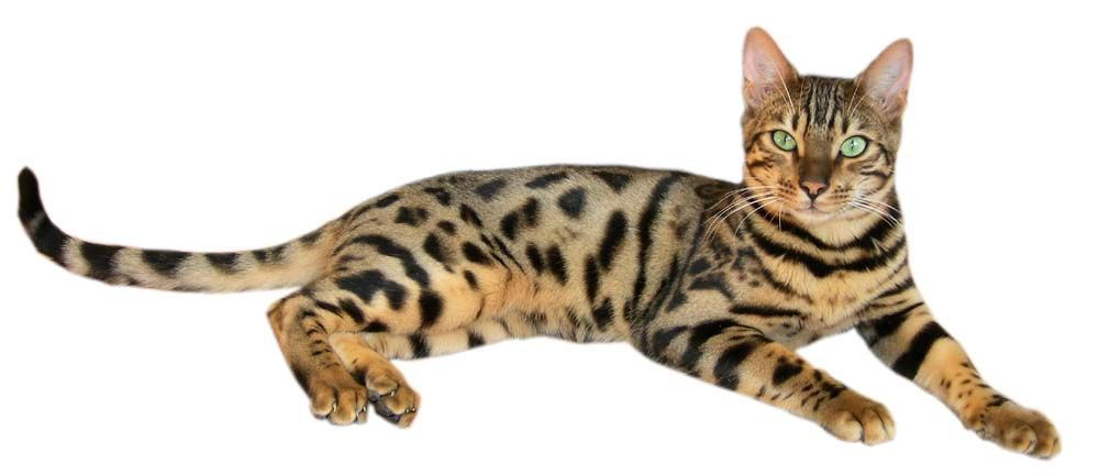 Brown spotted tabby bengal cat - Бенгалска котка (домашна) — Уикипедия