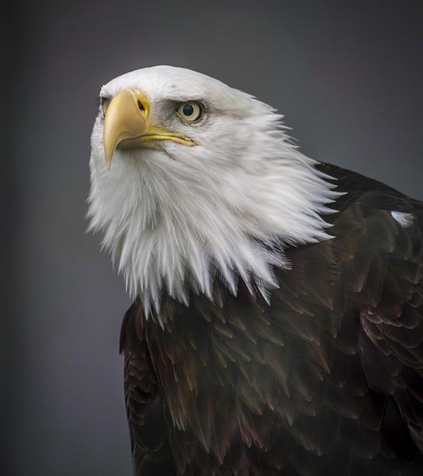 Bald Eagle Wildlife Motivational Poster Art Print School Classroom Decor Vision