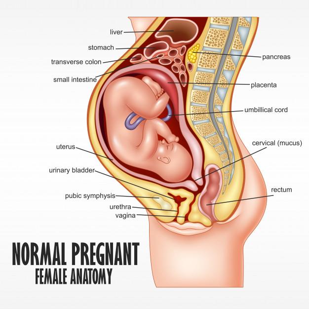 Normal Pregnant Female Anatomy In 2020 Female Reproductive System Anatomy Female Reproductive Anatomy Female Anatomy