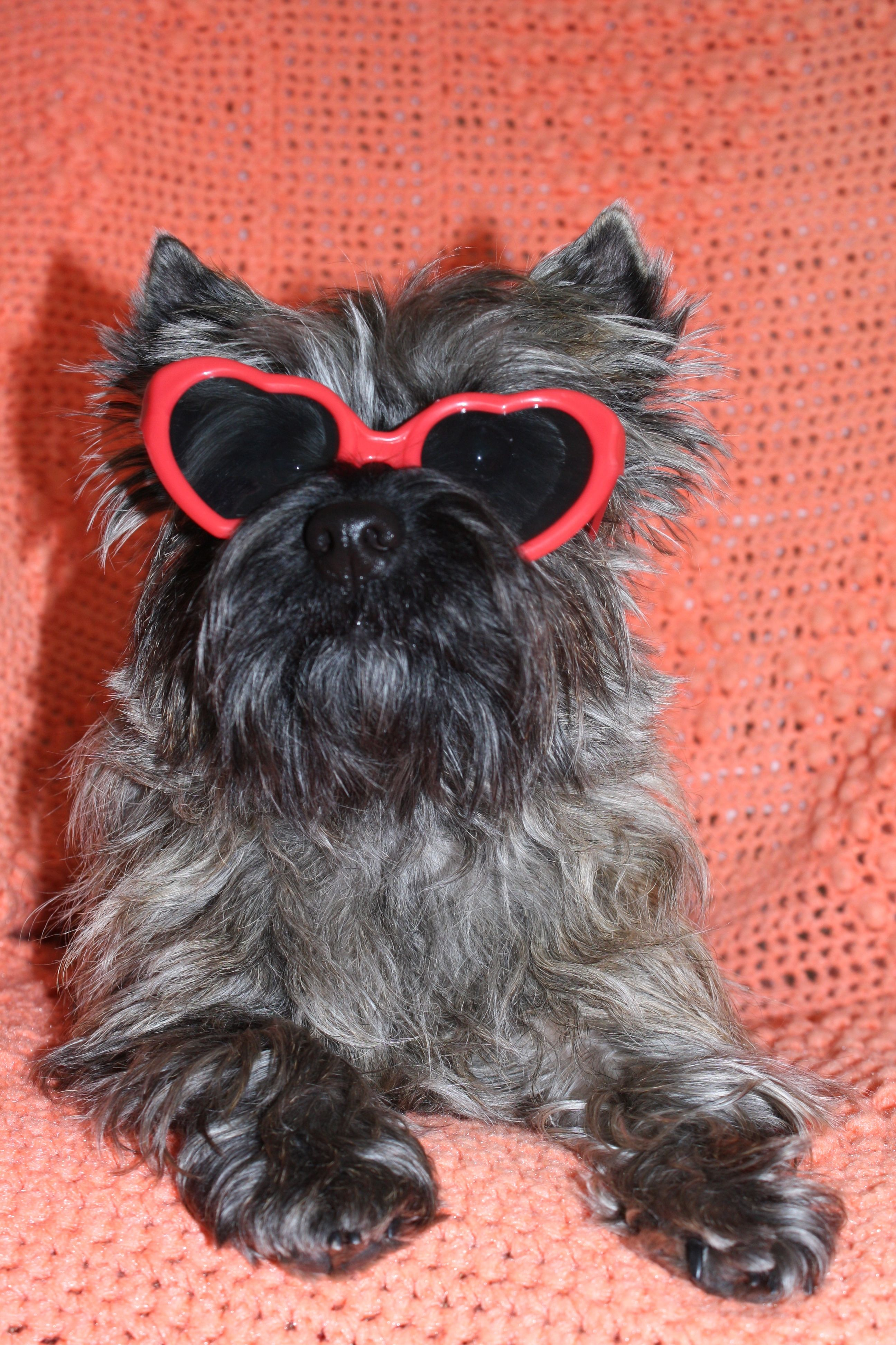 Happy Valentine's Day from Sophie Sunshine! #cairn #terrier