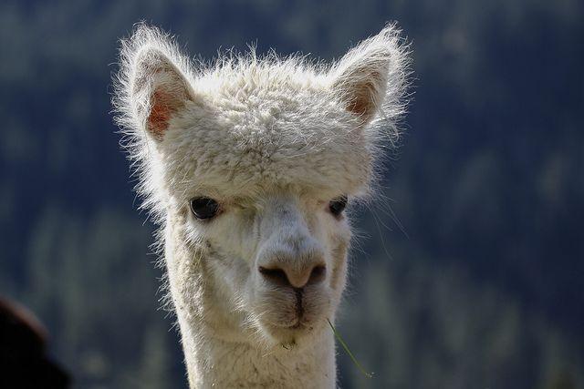 Pin On Llamas And Alpacas