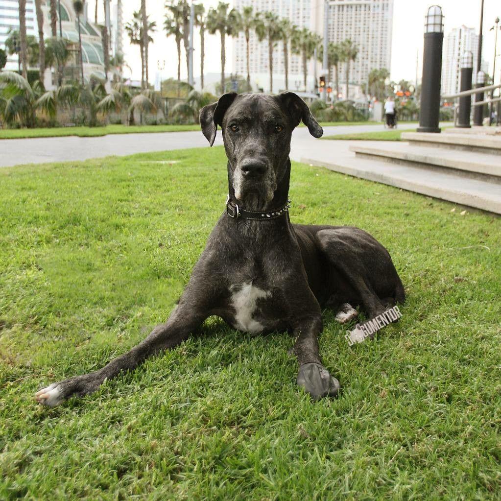 Jax Great Dane 5 Y O Gaslamp Quarter Dogs Animals San Diego