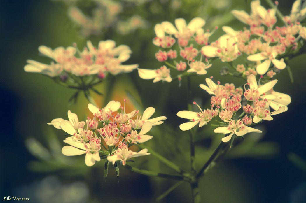 Coriander flowers-means hidden worth