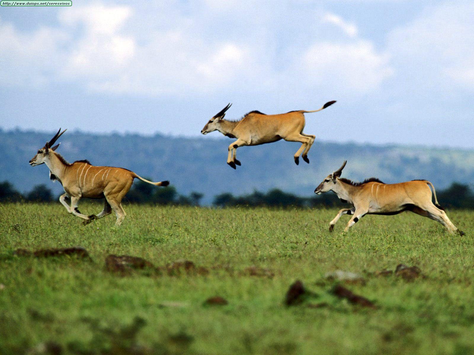 African Impala Jumping | www.pixshark.com - Images ...