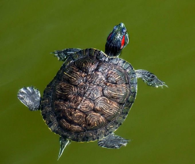 """Red-eared slider Turtle--yes, my nephew """"Jeggy"""" now lives with us!"""