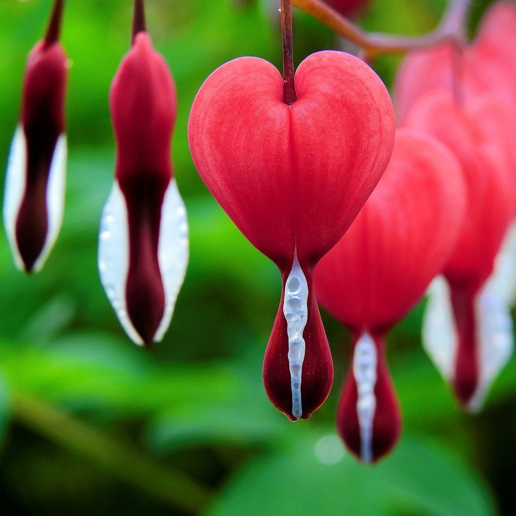 Bleeding Hearts Valentine Dicentra Bleeding Heart Flower Bleeding Heart Plant Bleeding Heart