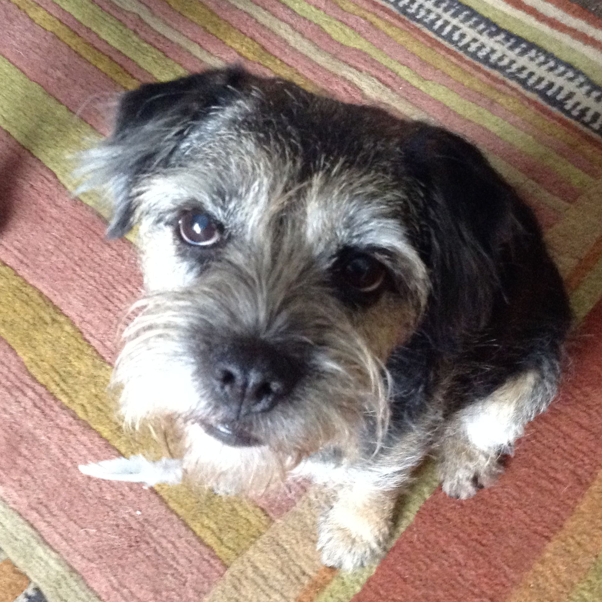 Border Terrier Feather On A Chin Sniffed A Dead Pigeon Killed
