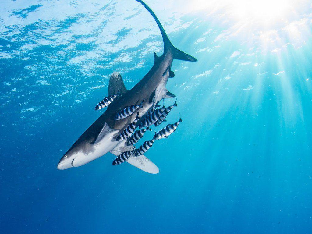 15 Kumpulan Berbagai Gambar Ikan Hiu   Worldofghibli.id