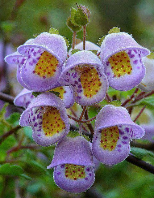 Jovellana violacea -- Teacup Flower