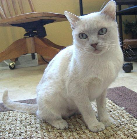Beauty Platinum Mink Tonkinese Tonkinese Cat Cats And Kittens Tonkinese