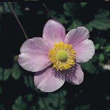 Höstanemon - Anemone japonica (Mixed)