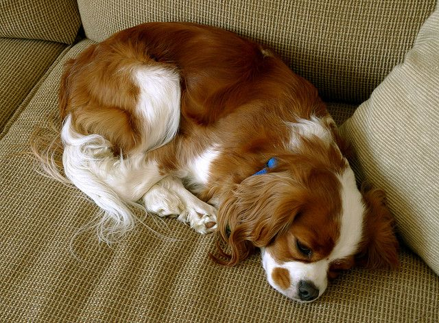 10 Layabout Dog Breeds Perfect For Apartment Living