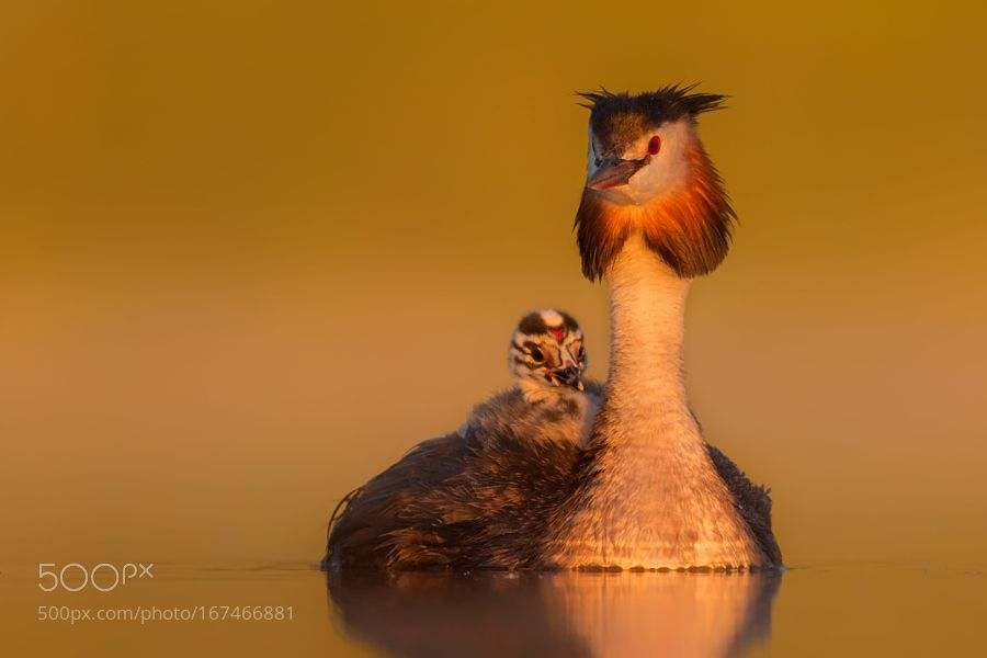 great crested grebe by MarcinBaranowski via http://ift.tt/2bd7cUc