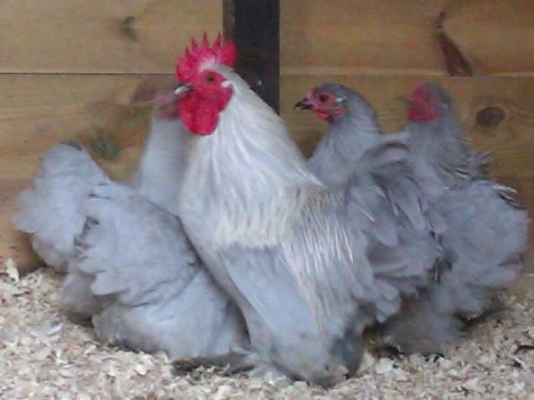 Japanese Bantam Lavender Chickens Chickens For Sale Poultry For Sale Chickens