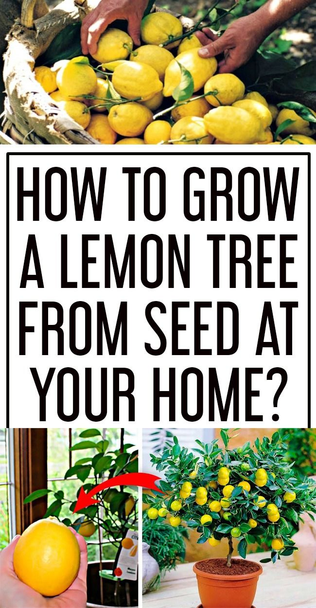 How To Grow A Lemon Tree From Seed In Your Home Lemon Tree From Seed How To Grow Lemon Lemon Seeds
