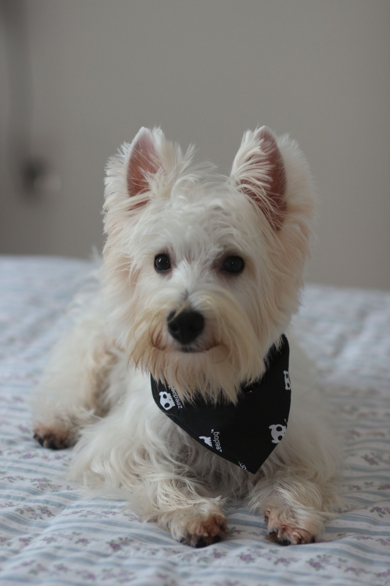 My westie Otto. Westies, Scottie terrier, Dog pictures
