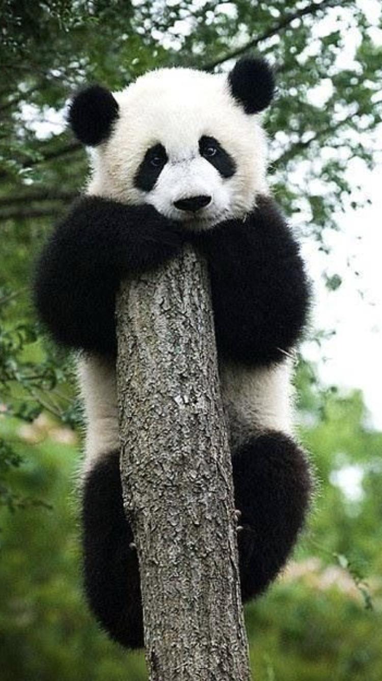 Pin Von Osna Frieden Auf Tiere Baby Pandabar Pandas Panda Bilder