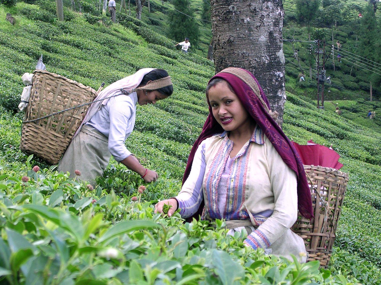 4153cefa33f451127da099d12ac80d6f - List Of Tea Gardens In Darjeeling