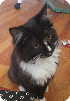 Fenton Mo Domestic Shorthair Meet Morgann A Kitten For