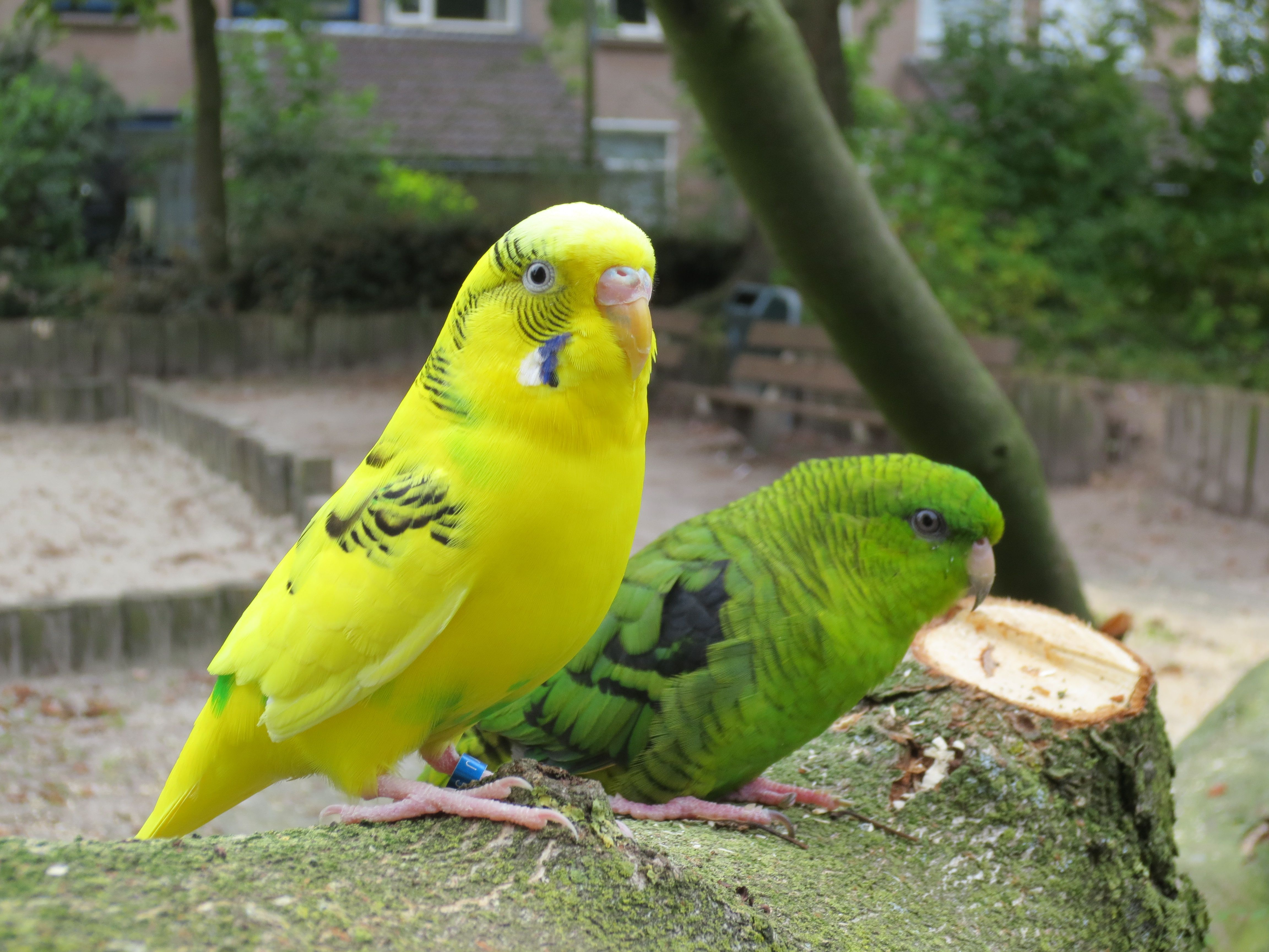 Mandu the Budgerigar and Limbo the Lineolated parakeet are best friends!