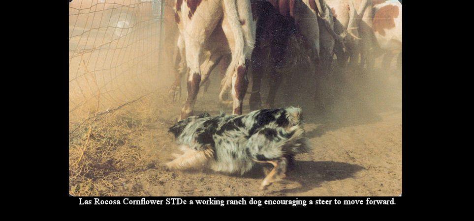 Slideshow image Australian shepherd, Australian shepherd