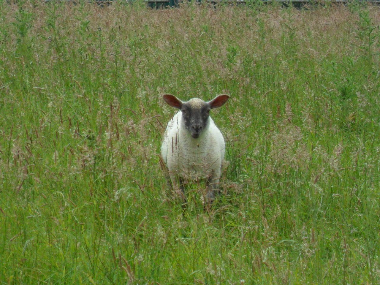 Agneau en état d'alerte dans le village de Coven.