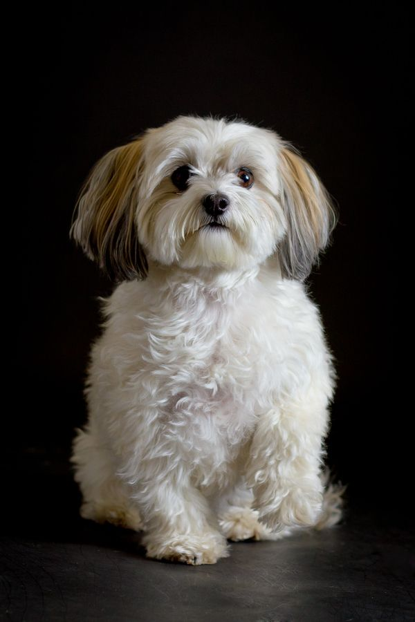 Havanese Intelligent And Funny Welpen Havaneser Malteser Hund