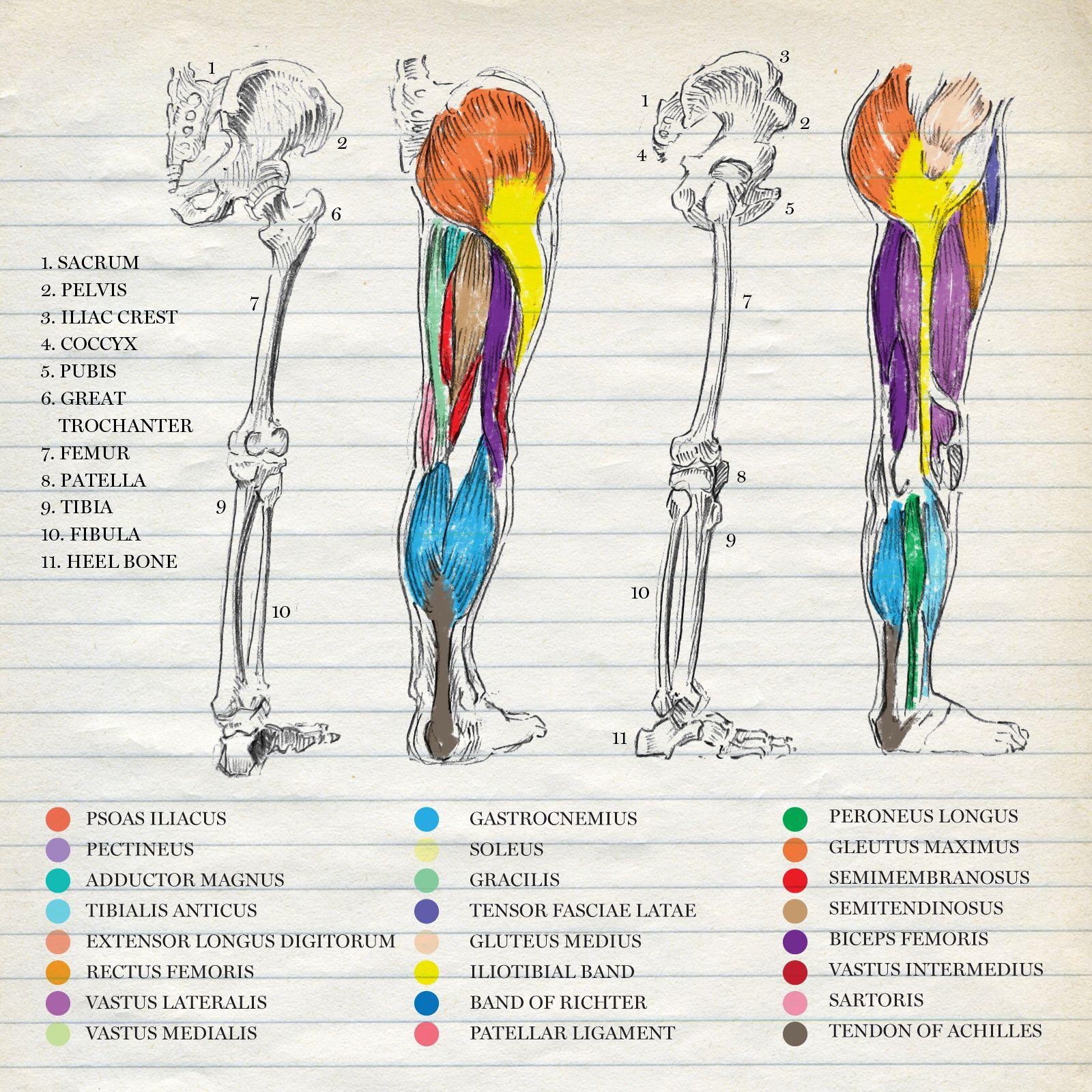 La cresta ilíaca es el borde superior del ala del hueso ilíaco y el ...