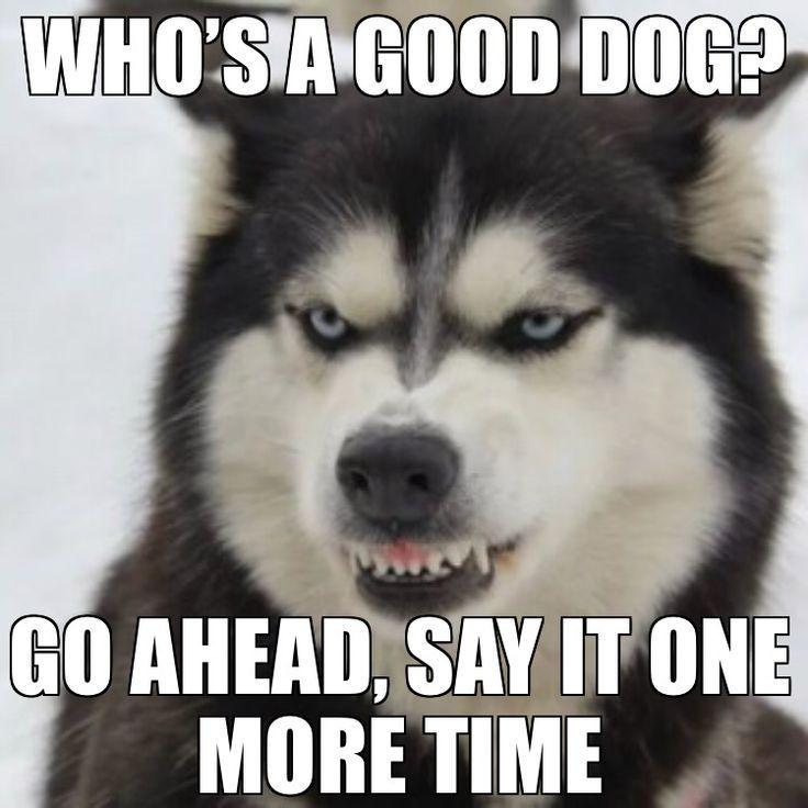 I Got Witnesses Funny Husky Meme Funny Husky Quote Husky Funny Funnyh Funny Husky Meme Husky Funny Husky Memes