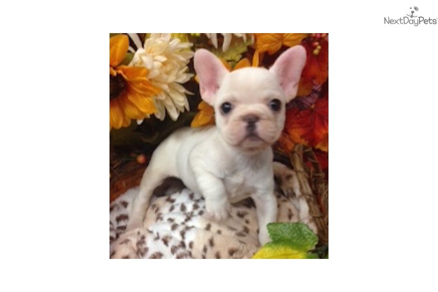 I Am A Cute French Bulldog Puppy Looking For A Home On Nextdaypets Com Toy French Bulldog French Bulldog French Bulldog Puppy