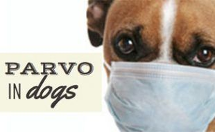 Pin on Parvo Everything you need to know