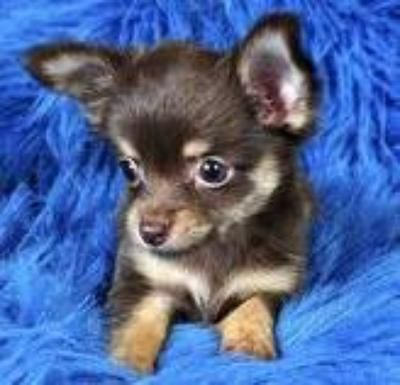 Chihuahua Puppies For Free Free Chihuahua Puppies For You