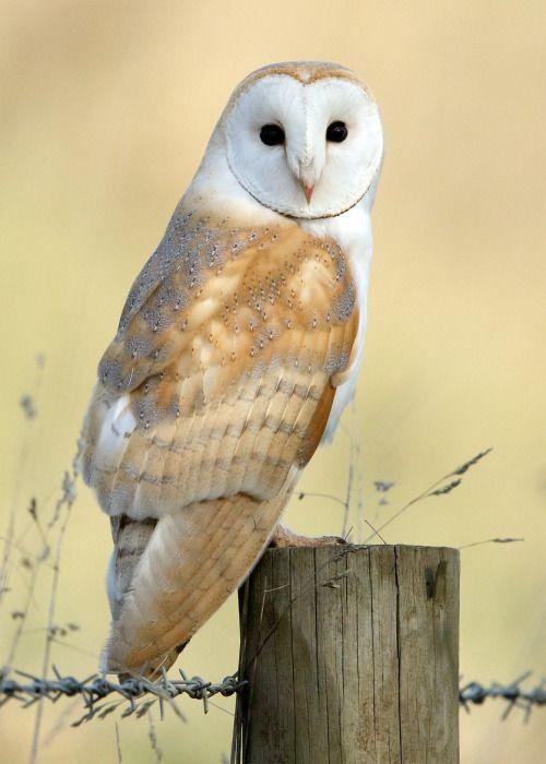 Predadores alados | Barn owl, Owl photography, Owl photos