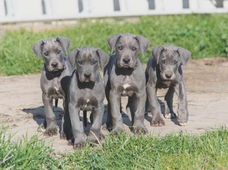 Great Dane Puppies For Sale In Indiana Great Dane Puppy Dane