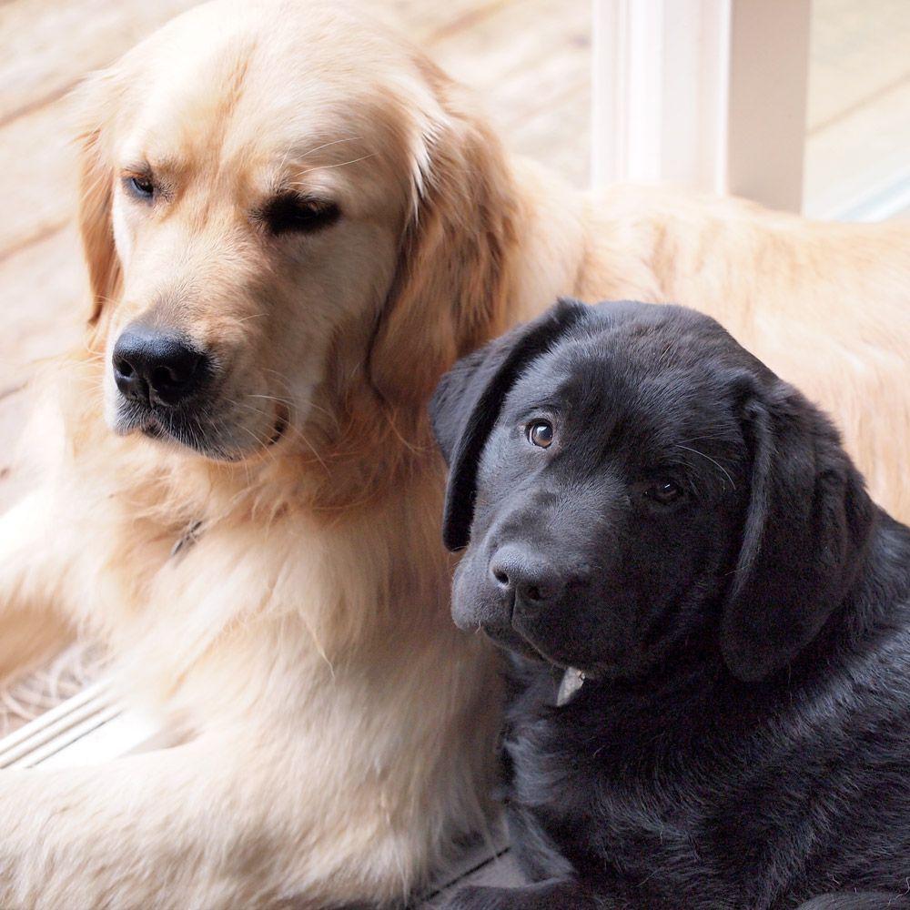 Black Lab Golden Retriever And Black Lab Puppy 3 3 Golden
