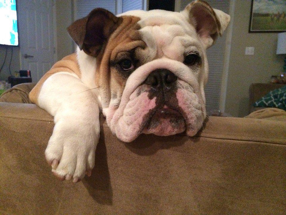 English Bulldog Bulldog Funny Bulldog