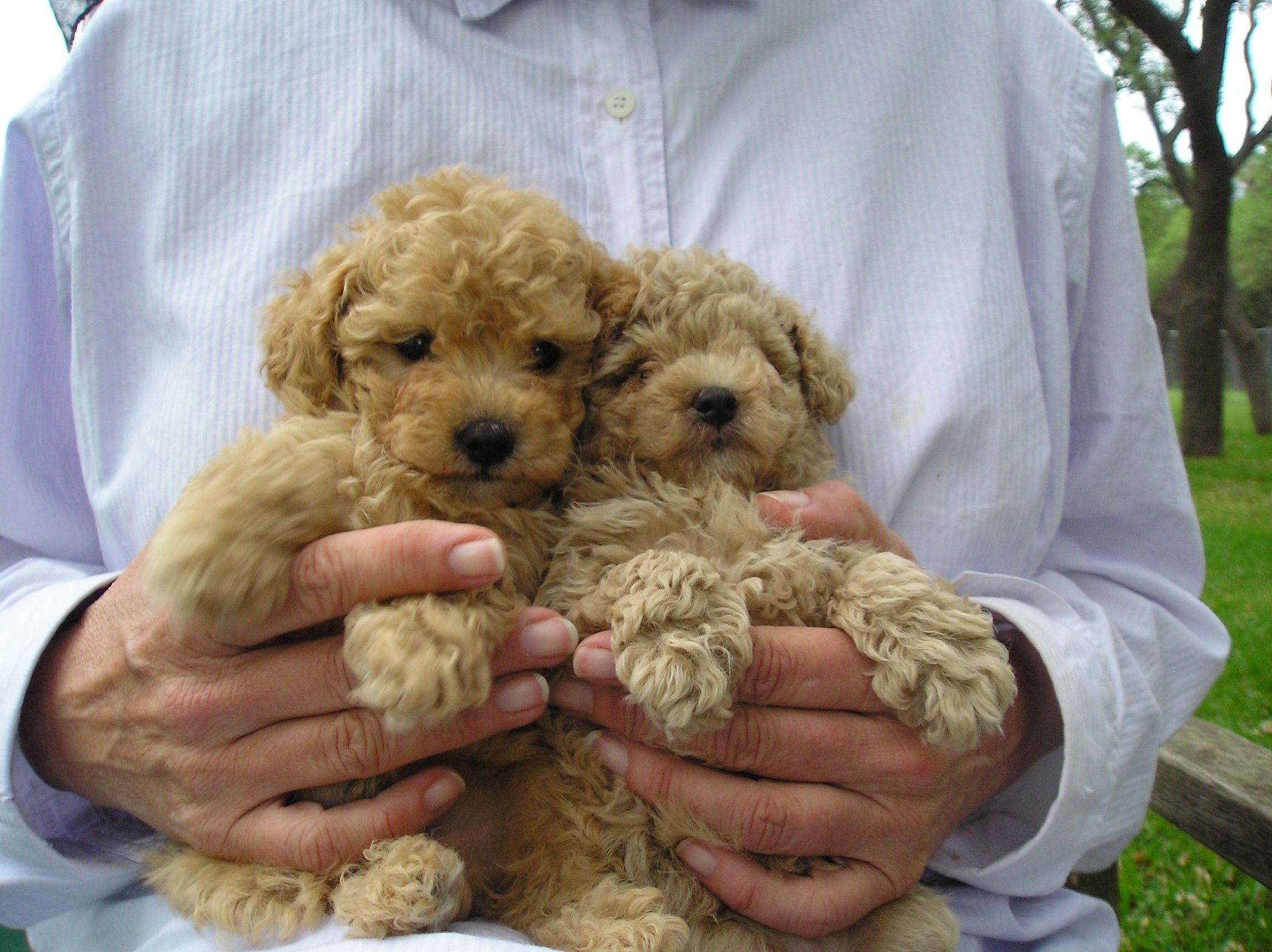 Miniature Poodle Poodle Puppy Poodle Basenji Puppy