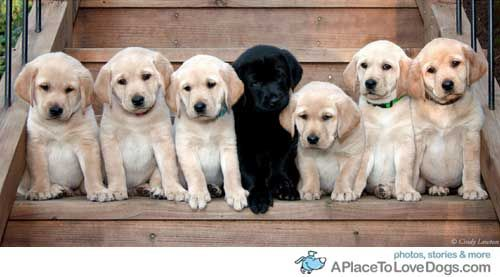 lab puppies and the odd one out from a place to love dogs