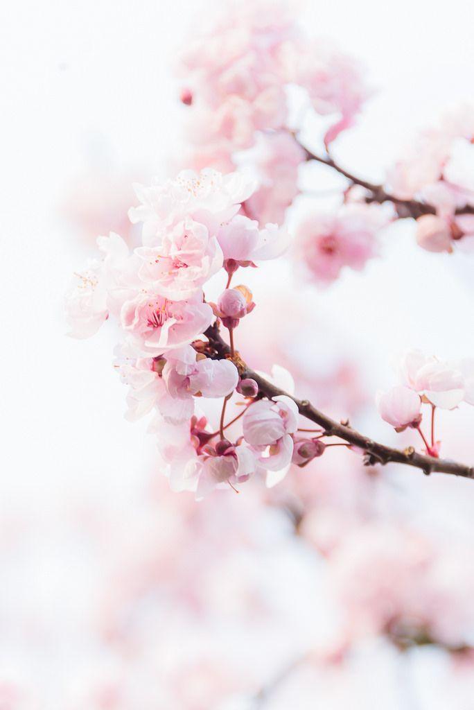 Floweralia Cherry Blossom Wallpaper Pink Flowers Wallpaper Spring Wallpaper
