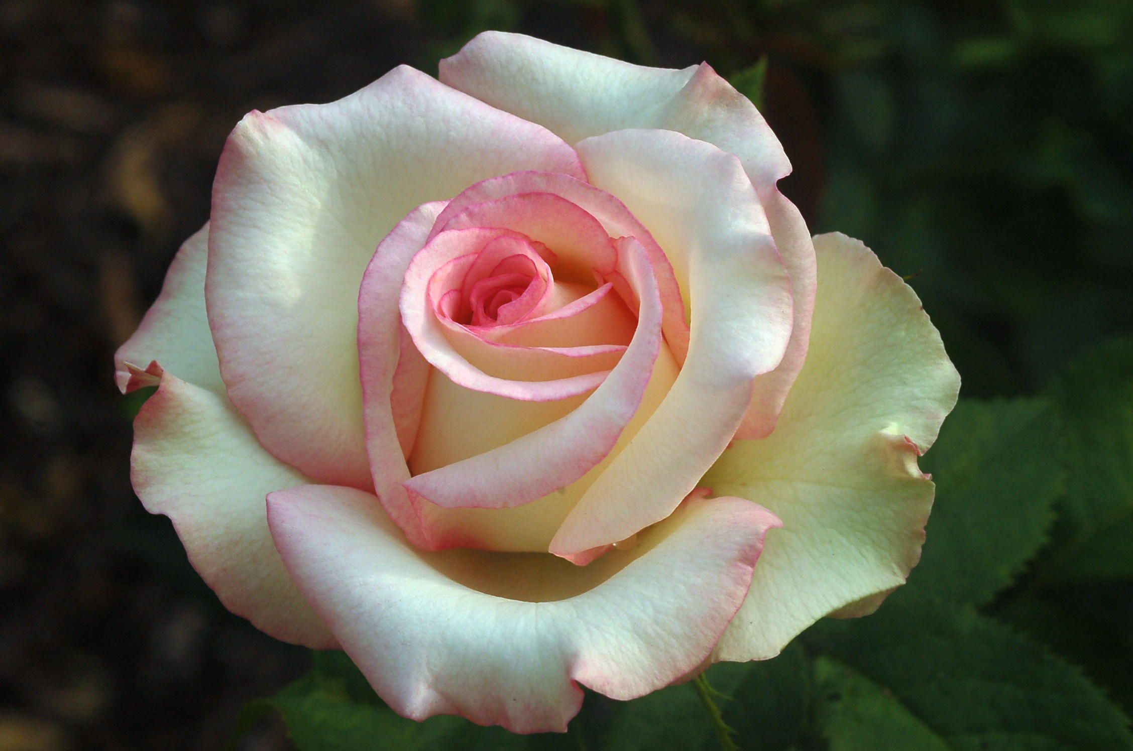 Weeks 'Moonstone' hybrid tea rose. Beautiful rose! Saw this rose at Burns Nursery & loved it! It grows 4-6 ft high and 2-3 ft wide. They are repeat bloomers with a slight fragrance. The blooms average close to 5 inches.