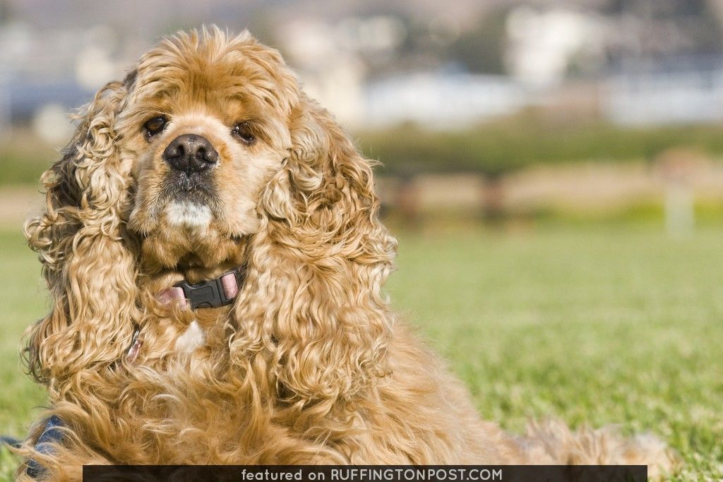 Buffy is One Curly Spaniel - http://www.ruffingtonpost.com/buffy-one-curly-spaniel/