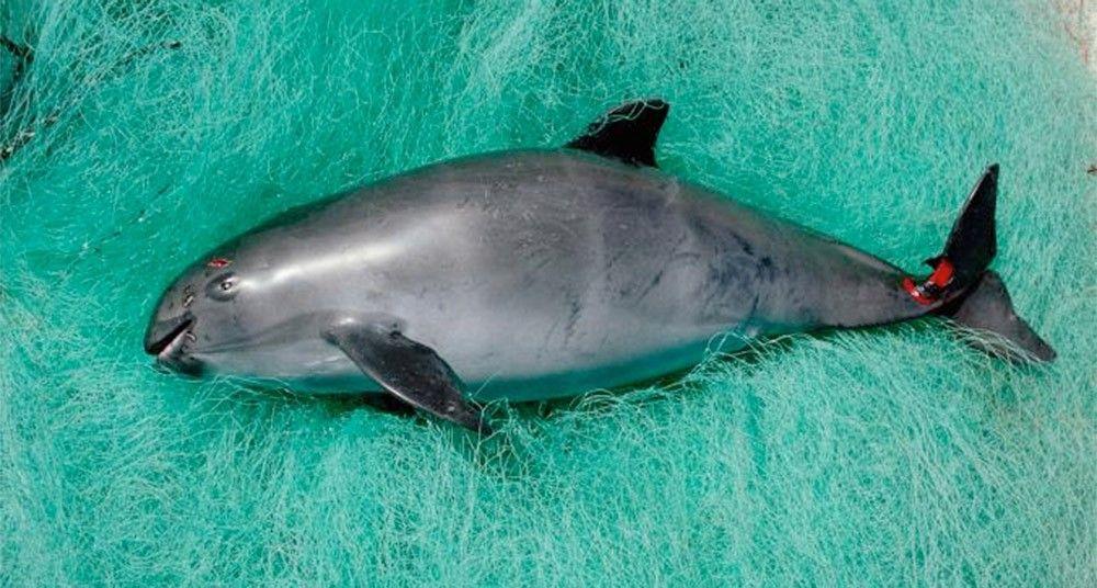 Encuentro con el mamífero marino más raro del mundo | Pinterest ...